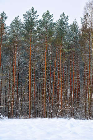 Winter landscape with trees in the forest Stock Photo - 17101744