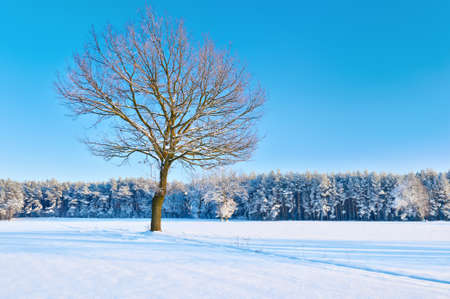 Winter landscape with single bare tree in a snowy meadow near forest