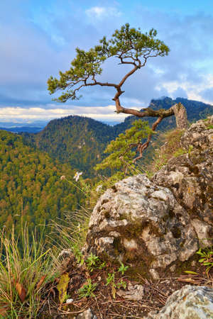 The relic pine at the top of mountain  The Dunajec River Gorge  Facimiech  668 m  and The Three Crowns  982 m  view from Sokolica mountain  847 m   photo