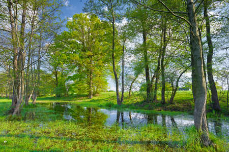 Sunny spring landscape  Trees in the swamp  Flood waters of The Narew River, Poland