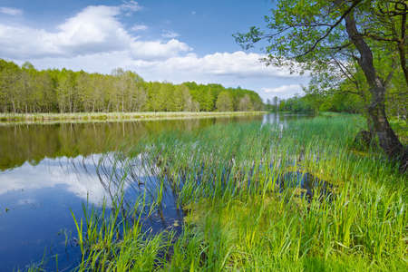 calamus: Sweet Flag in flood waters of The Narew River, Poland  Cloudy spring landscape  Trees at riverbank  Stock Photo