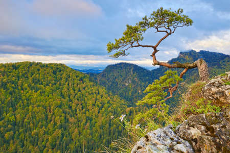 pine three: The relic pine at top of mountain  Pieniny Mountains Range, Poland  The Facimiech  668 m  and The Three Crowns  982 m  visible from The Sokolica Mountain  847 m   Stock Photo