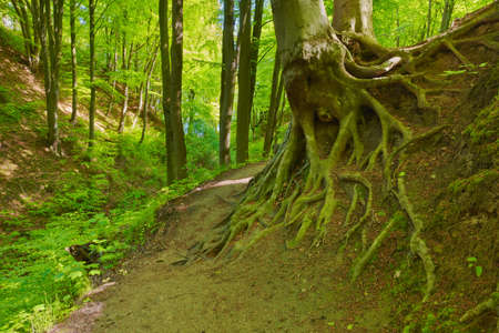 Trail in green deciduous forest. Beech roots. Trees in The Fox Ravine (Lisi Jar) nature reserve, Poland.