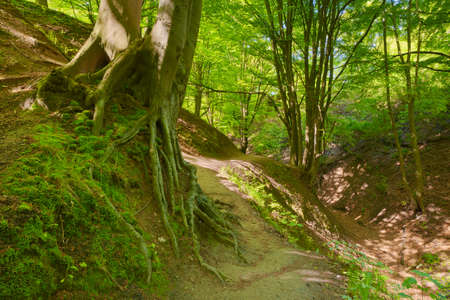 Trail in green deciduous forest scenery. Beech roots. Trees in The Fox Ravine (Lisi Jar) nature reserve, Poland. Banco de Imagens - 29394587