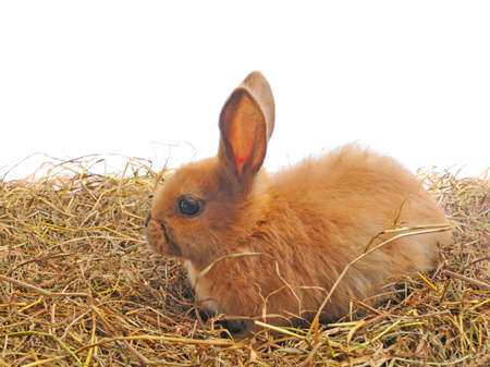 one red rabbit sit on straw