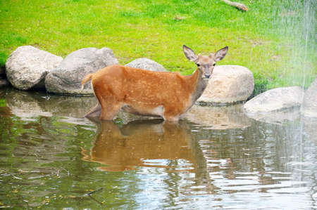 A fawn in the river near the waterfall photo