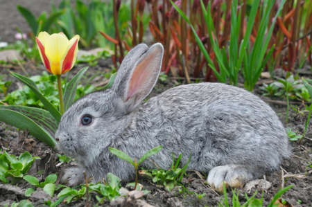 tulips in green grass: fluffy grey rabbit and yellow tulip Stock Photo