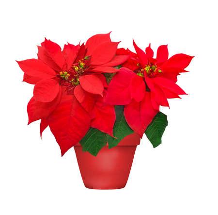 Beautiful poinsettia in flowerpot red christmas flower on white beautiful poinsettia in flowerpot red christmas flower on white background stock photo 27769147 mightylinksfo