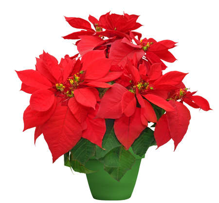 beautiful poinsettia. red christmas flower in green flowerpot on white background Stock Photo