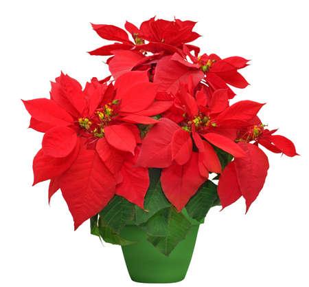flor de pascua: hermosa flor de pascua. flor roja de la Navidad en maceta verde sobre fondo blanco