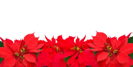 Christmas frame from poinsettia flowers isolated on white  photo