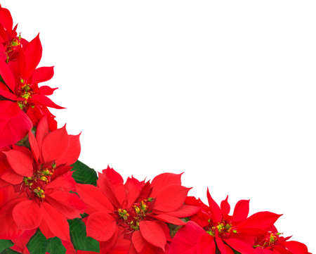 christmas frame from poinsettias isolated on white  Stock Photo