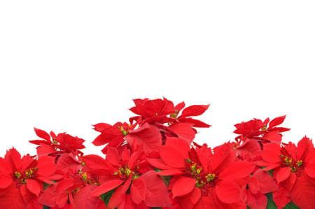 flor de pascua: grupo de plantas poinsettia rojo de la Navidad en el fondo blanco