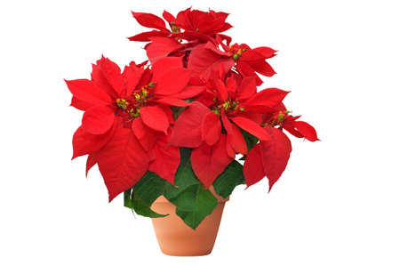 poinsettia: beautiful poinsettia. red christmas flower on white background