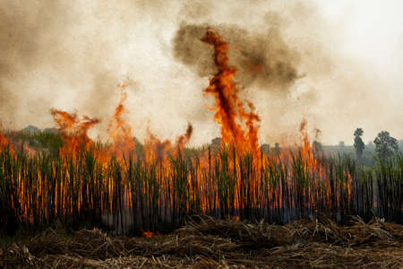 Sugarcane field burning in Thailand photo