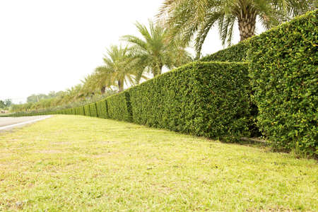 Bush trimmed into square shape beside road