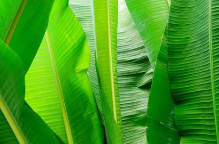 Banana leaf for background and texture Standard-Bild