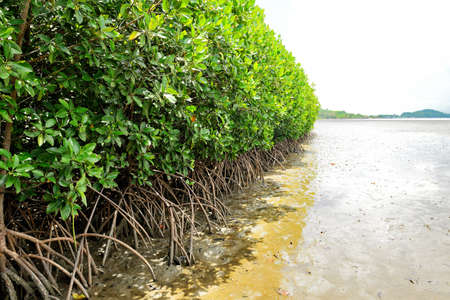 mangrove forest: The mangrove forest in Thailand Stock Photo
