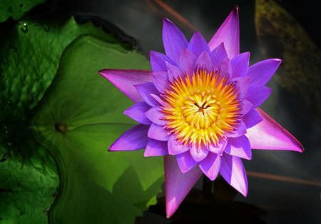 Purple lotus blossoms or water lily flowers photo