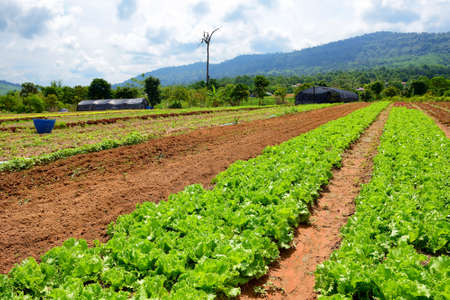 Growing organic vegetables in the field