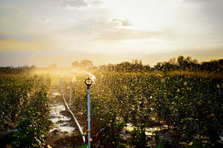 Sprinkler spraying water in the agriculture field at sunset photo
