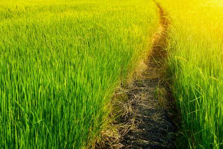 Passarela em um campo de arroz verde