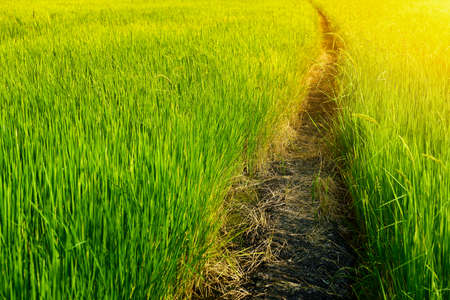 Walkway into green rice field photo