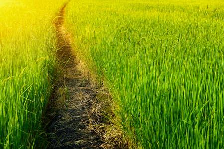 Walkway into green rice field photo