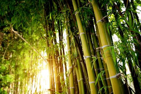 Bambu verde floresta