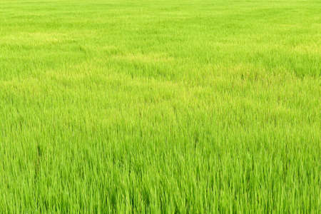 Rice field in Thailand photo