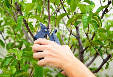 Hands are cut bush clippers Standard-Bild