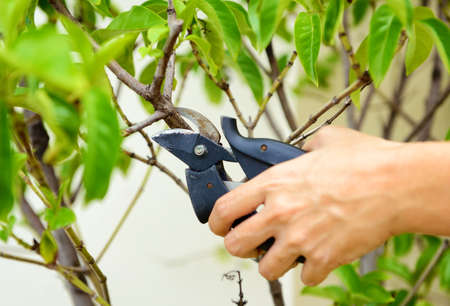 tree trimming: Hands are cut bush clippers Stock Photo