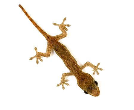 Baby lizard or gecko photo