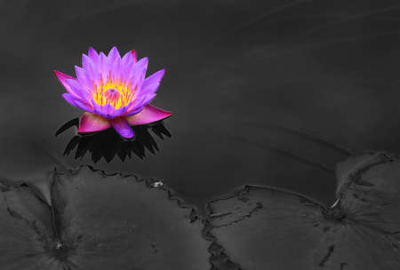 Purple lotus blossoms or water lily flowers