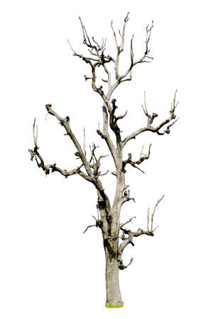 Dead tree isolated on white background photo
