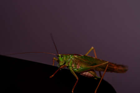 Close up of a locust. Insect photo - macro detail of a green locust