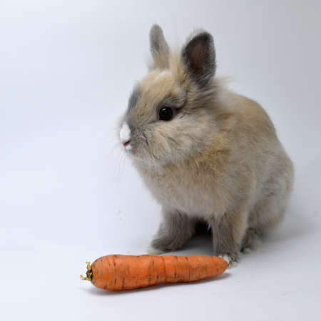 Rabbit with carrot photo