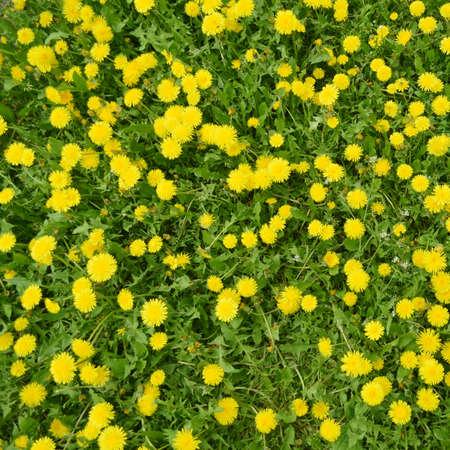 dandelion field: Dandelion field background Stock Photo