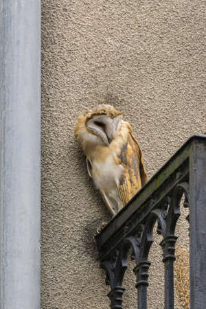 Screech owl, Tyto alba, perching on balcony of aged building in city and looking sideways
