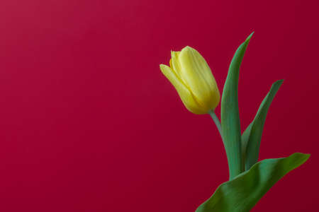 One yellow tulip on red background, place for copy space