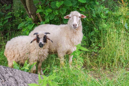 Close up of sheep and eve looking straight on pasture graze near shrubbery