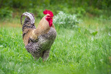 Single or alone colorful rooster walking through farmyard on lush green grass