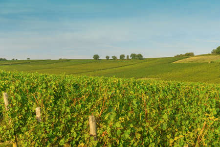 Rows of vineyard grape landscape in Bourgogne, France