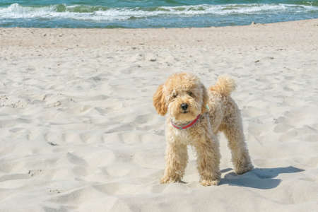Cute Goldendoodle dog outside looking straight at camera on sandy beach near the sea