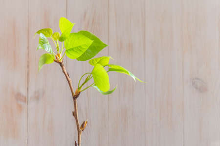 Single twig with fresh leaves of linden tree indoors on wooden background