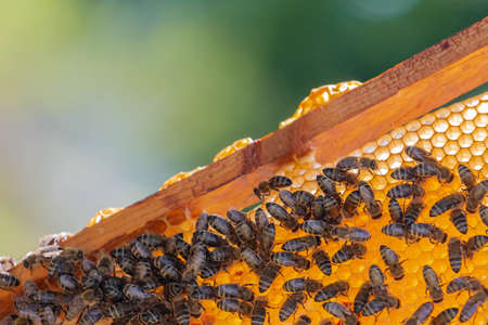 Honey bees on golden honeycomb in summertime. Frame of honeycomb with bees in apiary. Beekeeping in countryside. Concept of organic farming. Copy space. 免版税图像