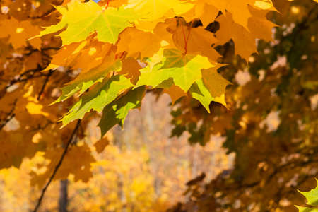 Autumn yellow and orange maple leaves on colorful blurred background. Fall nature background with sunlight and bokeh. Beautiful nature scene 免版税图像