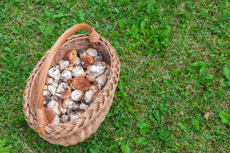 Top view edible fresh mushrooms - boletus edulis in basket on grass background in forest. Wicker bag with mushrooms boletus on meadow. Collecting fresh edible mushrooms