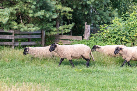 Flock of dirty sheep running in meadow through wooden fence. Livestock. Cattle breeding