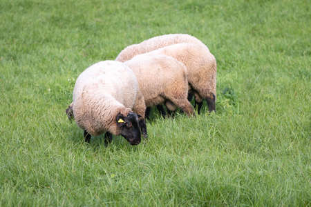 Dirty sheeps on green grass in countryside. Sheeps grazing in meadow. Livestock. Cattle breeding